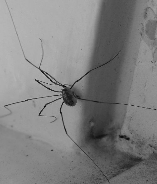 spider lockespindel arachnids