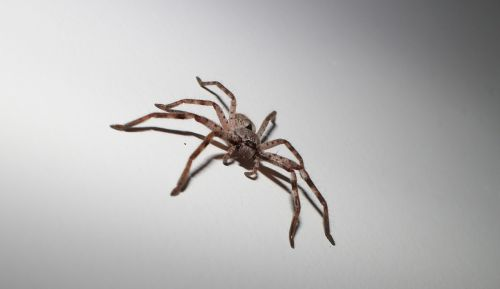 spider arachnid huntsman