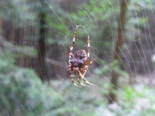 spider arachne cobweb