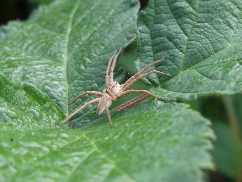 spider arachne animal