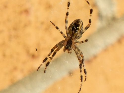 spider insect brown