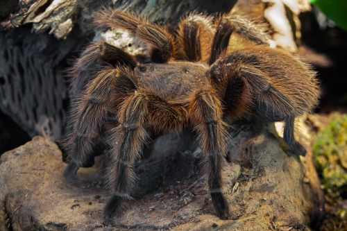 spider tarantula fear