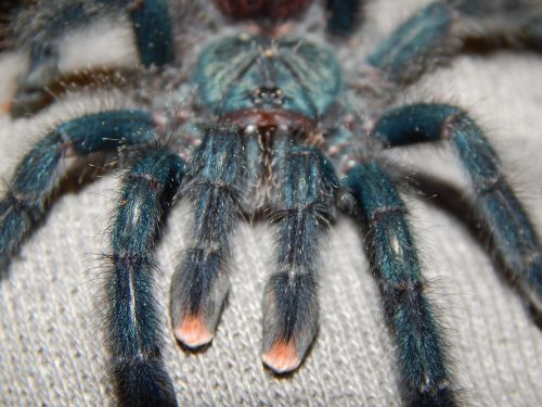 spider tarantula arachnid