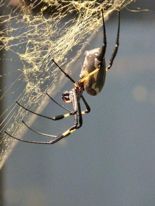 spider arachne tropics