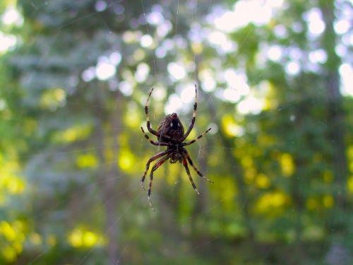 spider window web