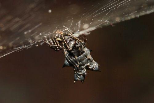 spider black arachnid