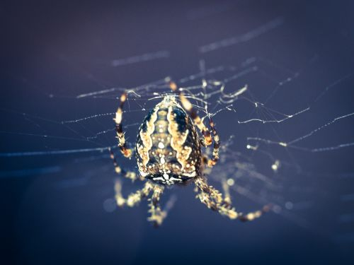 voras,voratinklio makro,voratinklis,vabzdys,Uždaryti,gamta,arachnid,makro,toksiškas,sodo voras
