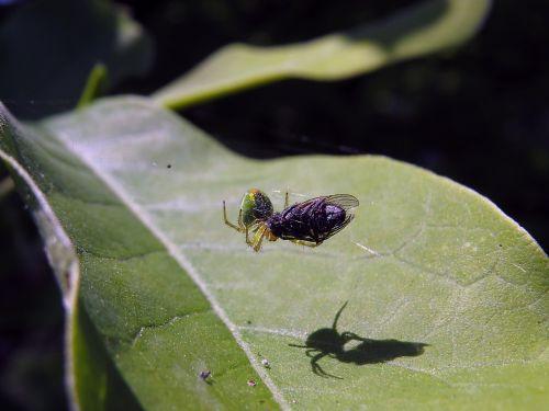 spider prey fly