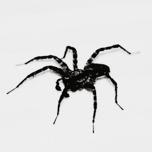voras,Halloween,akys žiūri į tave,baugus,baisu,akys,baimė,creepy,juodas voras,juoda,Halloween fonas,Halloween grafika