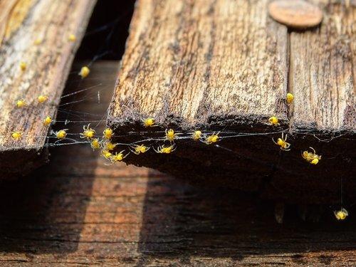 spider babies  spider nest  spider