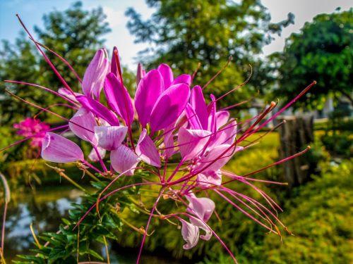 spider flower spider plant blossom