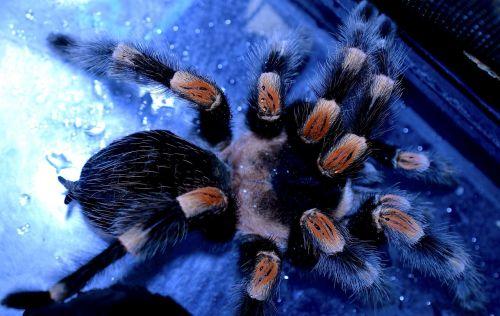 spider legs tarantula redknee bird-spider