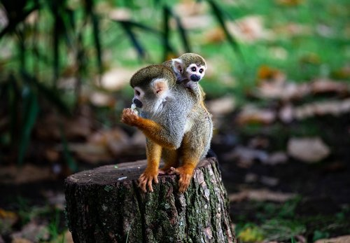 spider monkey  monkey  baby