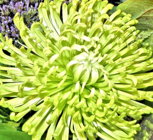 spider mum flower green garden