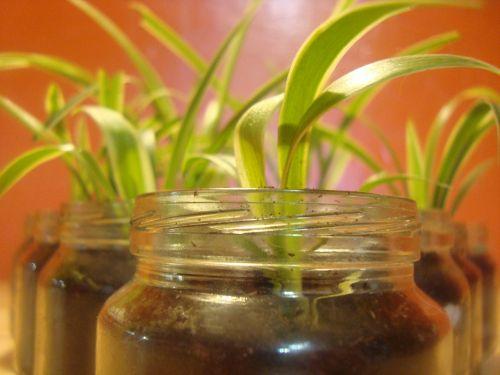 spider augalas,kambarinis augalas,glas,auga,augalas,natūralus,botanikos,ekologiškas,stiebas,botanika,žolė,Žemdirbystė,lapai,sodininkystė,augmenija