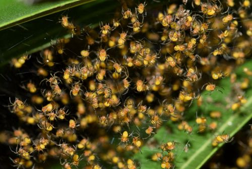 spiders spiderlings nest