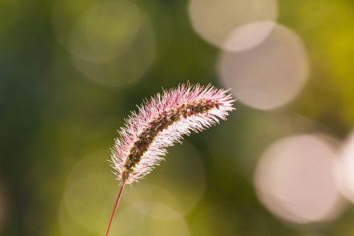 spike awns grass