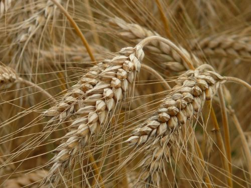 spike rye cereals