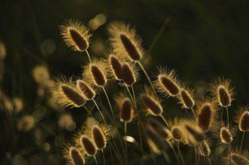 spikes sunset wheat