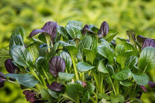 spinach japanese spinach komatsuna