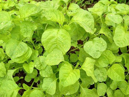 spinach  vegetable  fresh