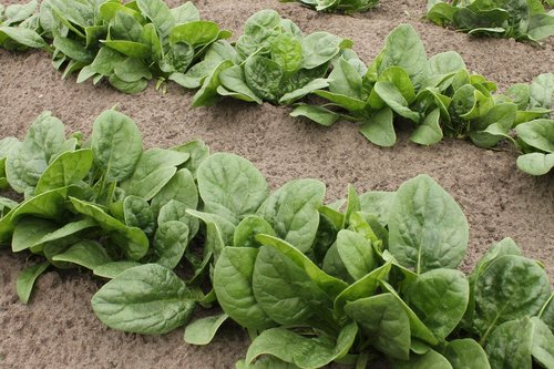spinach  vegetable patch  garden