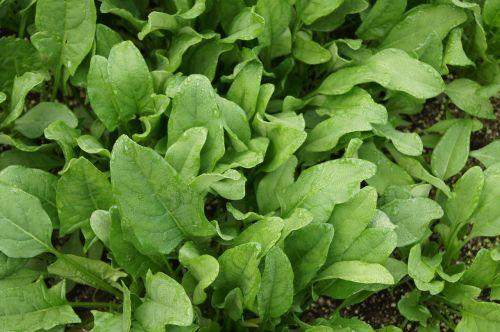 spinach vegetables vegetable