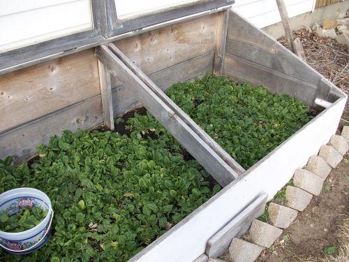 spinach gardening natural