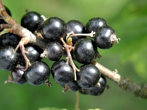spinarum carissa blackcurrant