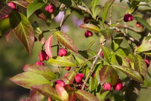 spindle euonymus europaeus pfaff copings