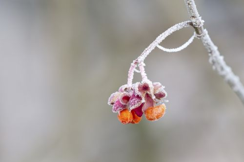 spindle hoarfrost winter