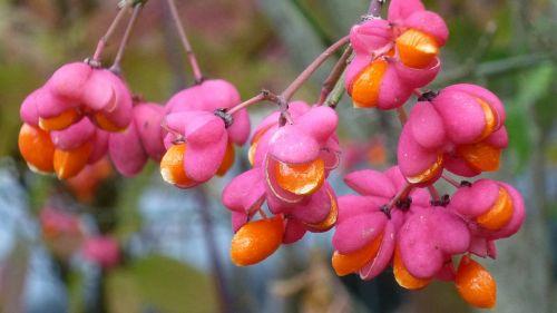 spindle berries pink