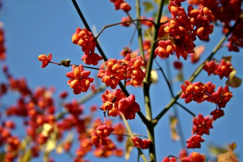 spindle tree fortunei