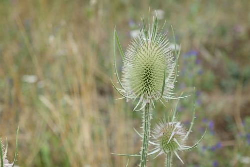 spine flower thistle