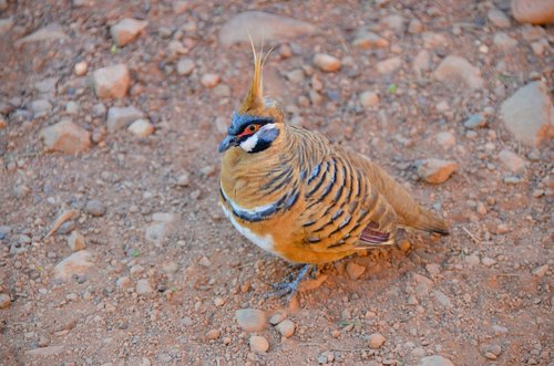 spinifex pigeon  geophaps plumifera  plumed-pigeon