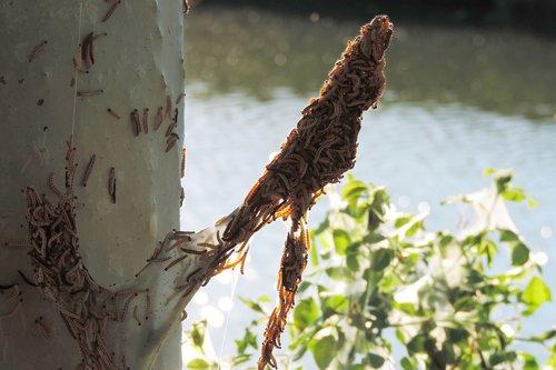 spinning moth caterpillars  tree infestation
