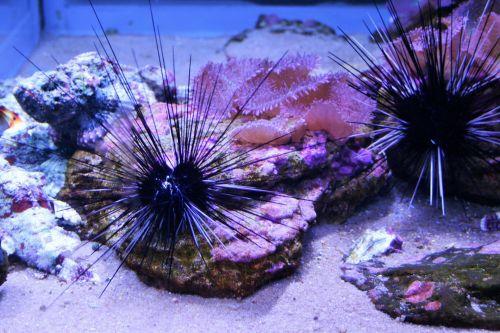 Spiny Anemone In Aquarium