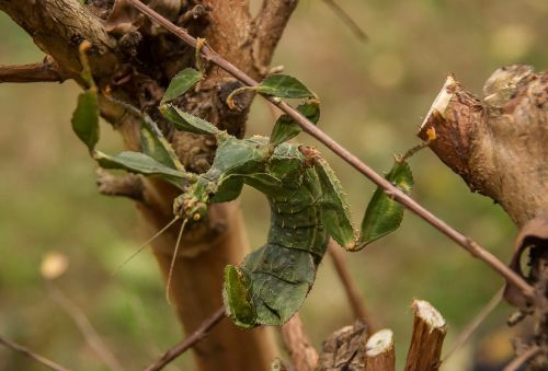 spiny leaf insect extatosoma tiaratum macleay's spectre stick insect
