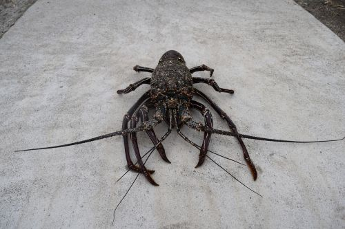 spiny lobster crustaceans