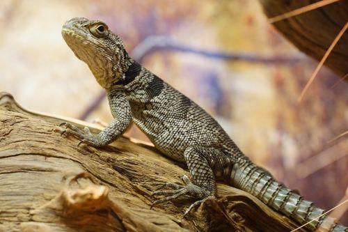 spiny-tail iguana schuppenkriechtier lizard