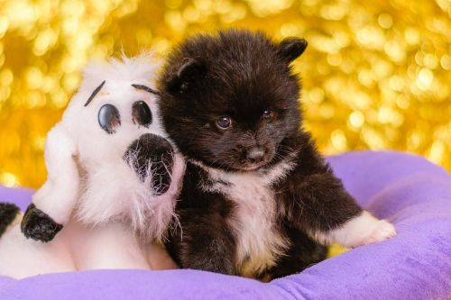 spitz puppies puppies dogs
