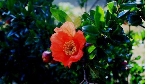 Splendid Pomegranate Flower