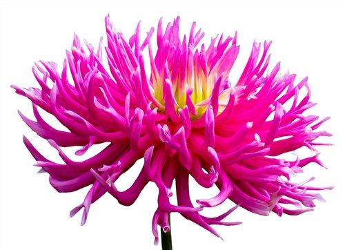 splendor  dahlia  pink