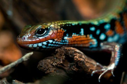 splendor skink reptile terrarium
