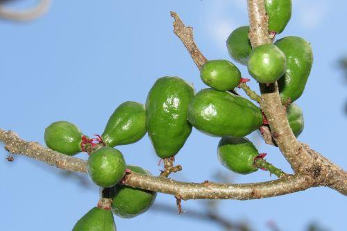 spondias cashew nut