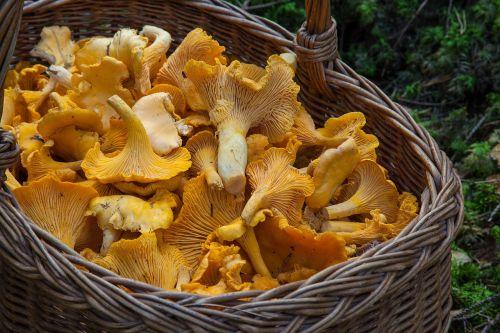 sponge basket chanterelle mushrooms mushroom picking