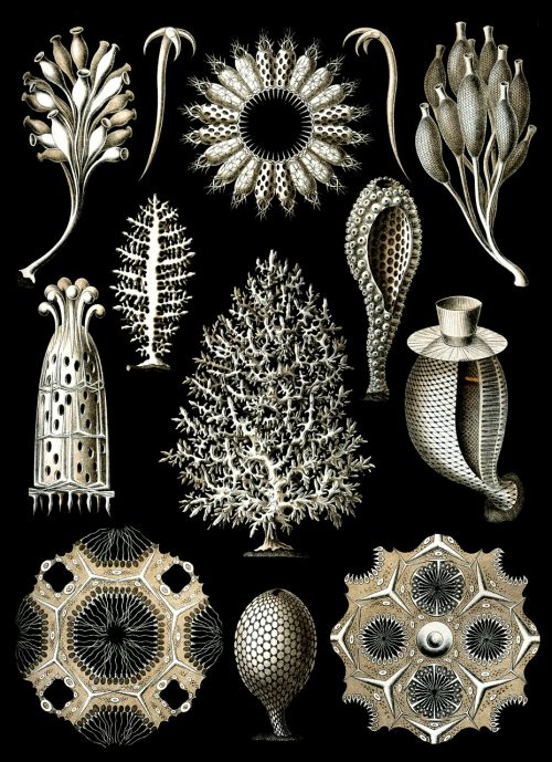 sponges sea sponge haeckel calcispongiae