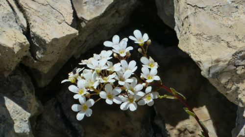 spoon leaf saxifrage flower blossom