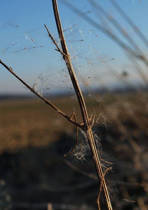 spore dandelion nature