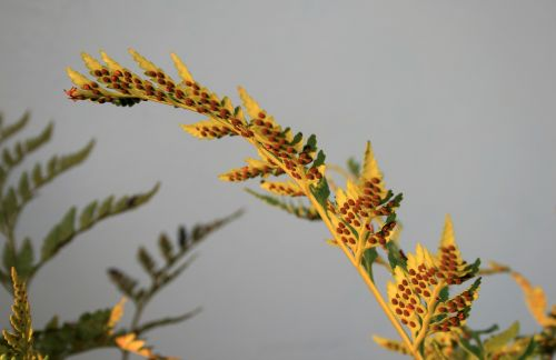 Spore On Fern Leaf